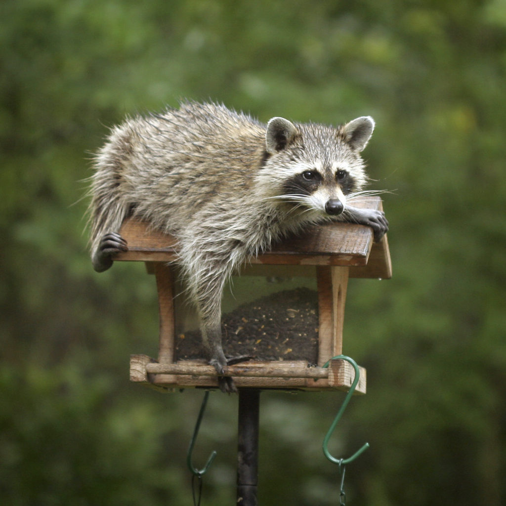 Can Baby Raccoons Eat Cat Food