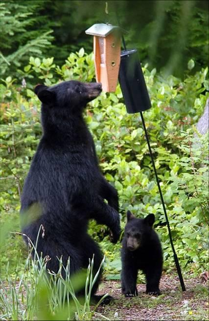 bears at bird feeder
