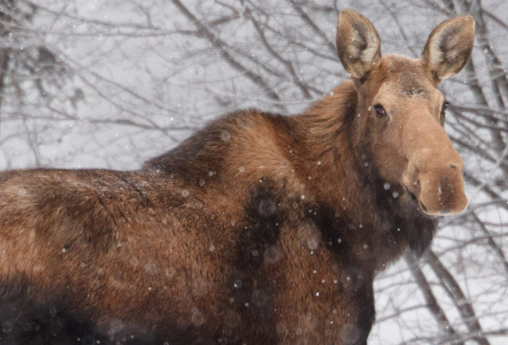 cropped-cropped-Moose_header-1.jpg