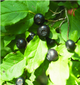 Huckleberries on a bush.