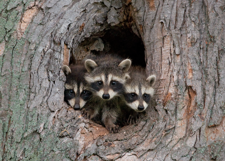 Raccoon Getting Cat Food