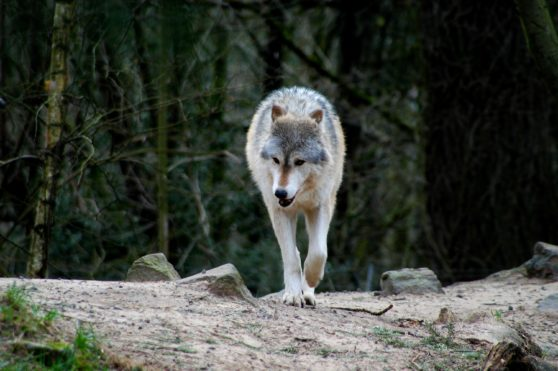 Wolf walking in forest looking for food.