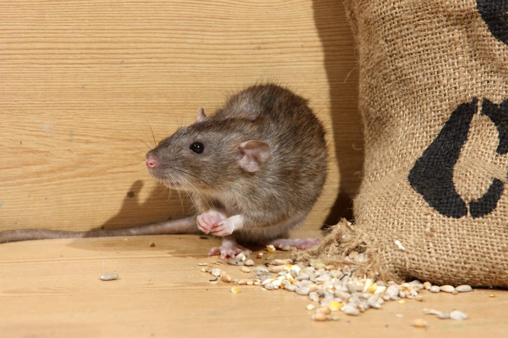 Brown rat, Rattus norvegicus, captive, by corn sack,  August 2009