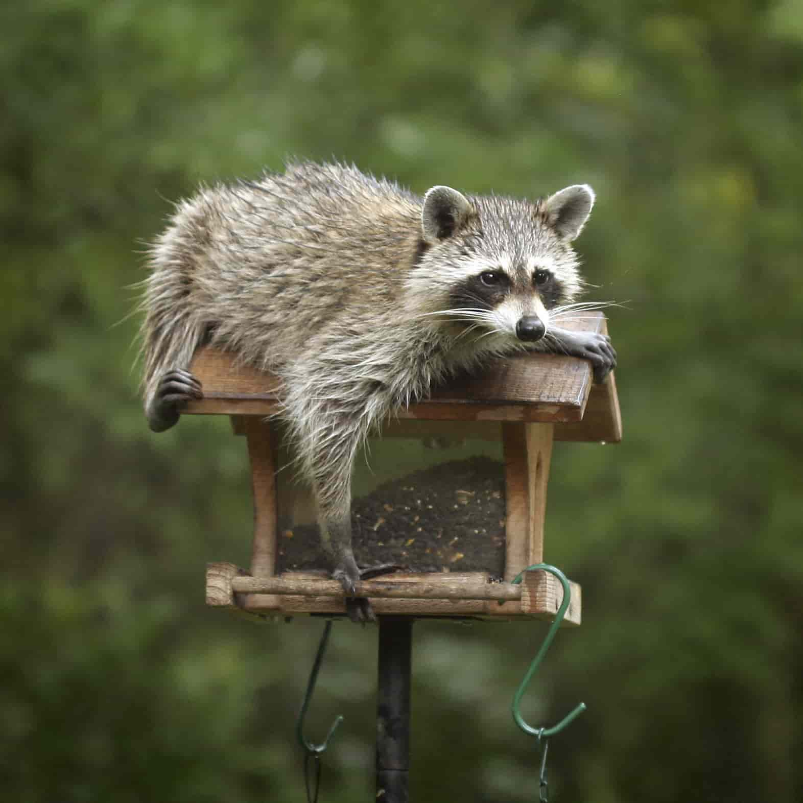 Raccoon-on-bird-feeder1-min