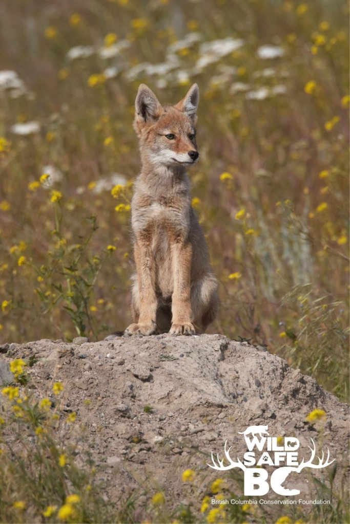 A coyote pup sitting on a pile of dirt