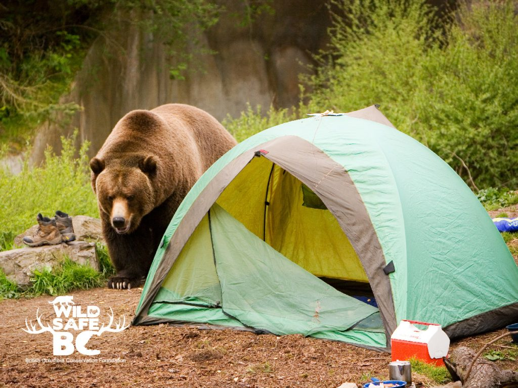 Grizzly bear_camping